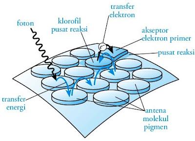 Kerja fotosistem I 2