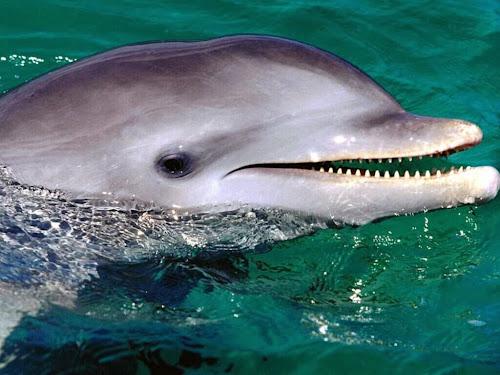 Golfinho se masturba com peixe decapitado