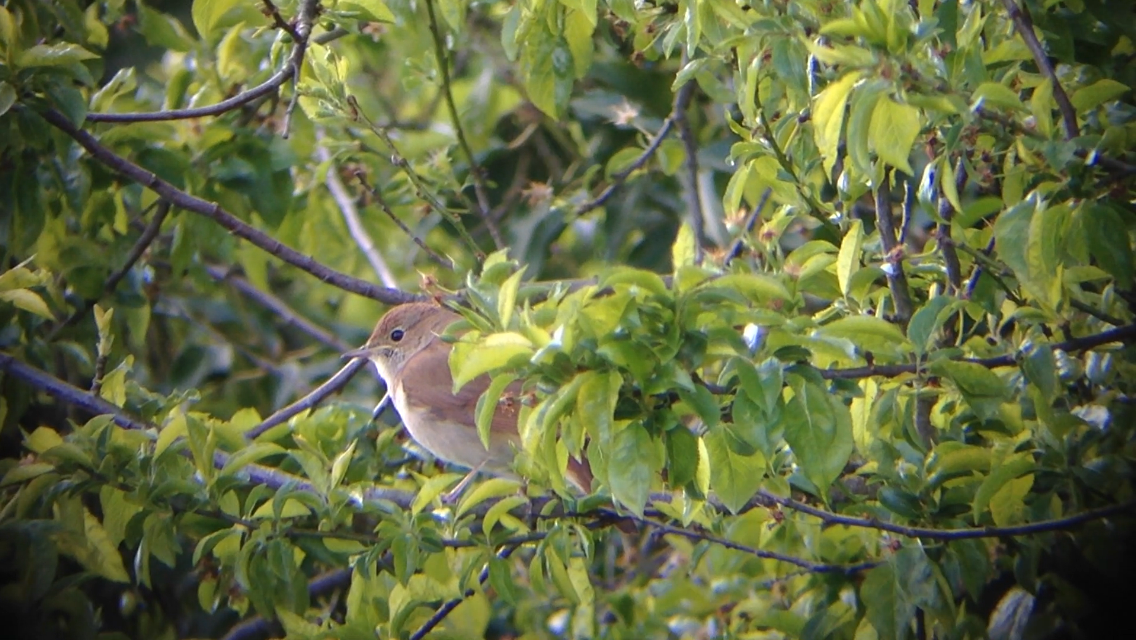Nightingale @Thorpe