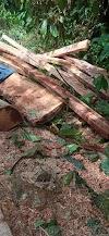 Masyarakat Lawe Harum Meminta APH Untuk Menertibkan Ilegal loging Dihutan Lawe Harum | LihatSaja.com