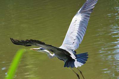 Tierfotos - Vögel - Graureiher im Flug