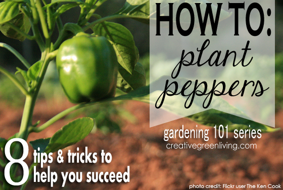 Gardening 101: How to Plant Bell Peppers - Creative Green Living