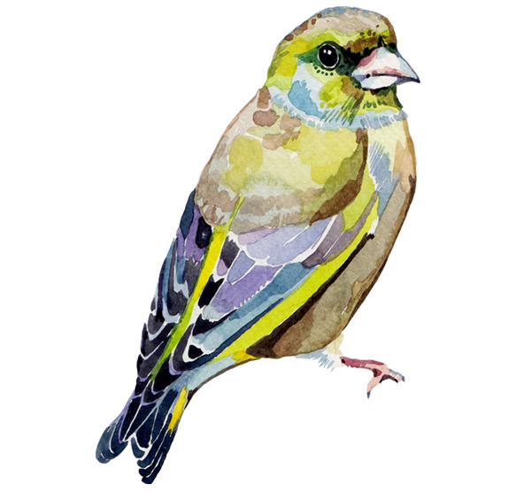 watercolour bird illustration