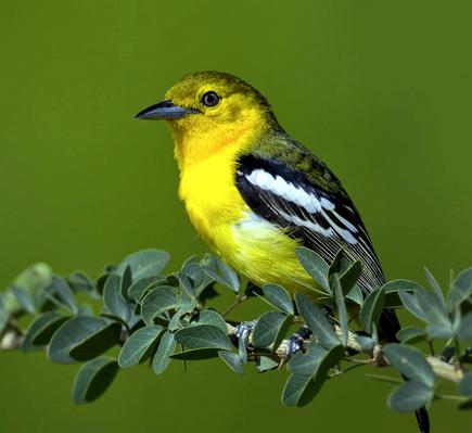 Gambar Cara Merawat Burung Cipoh