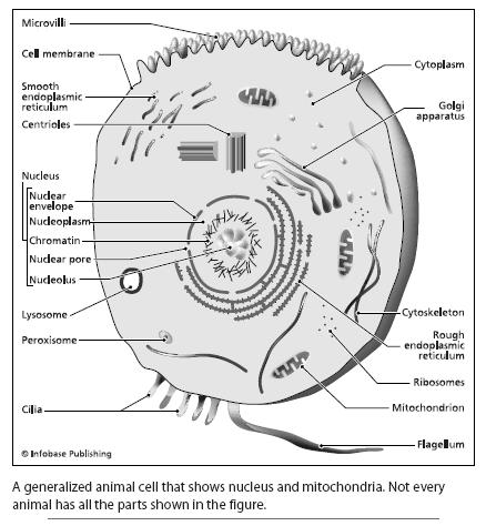 Animal cell diagram black and white animal cell diagram black and white photo24 ccuart Image collections