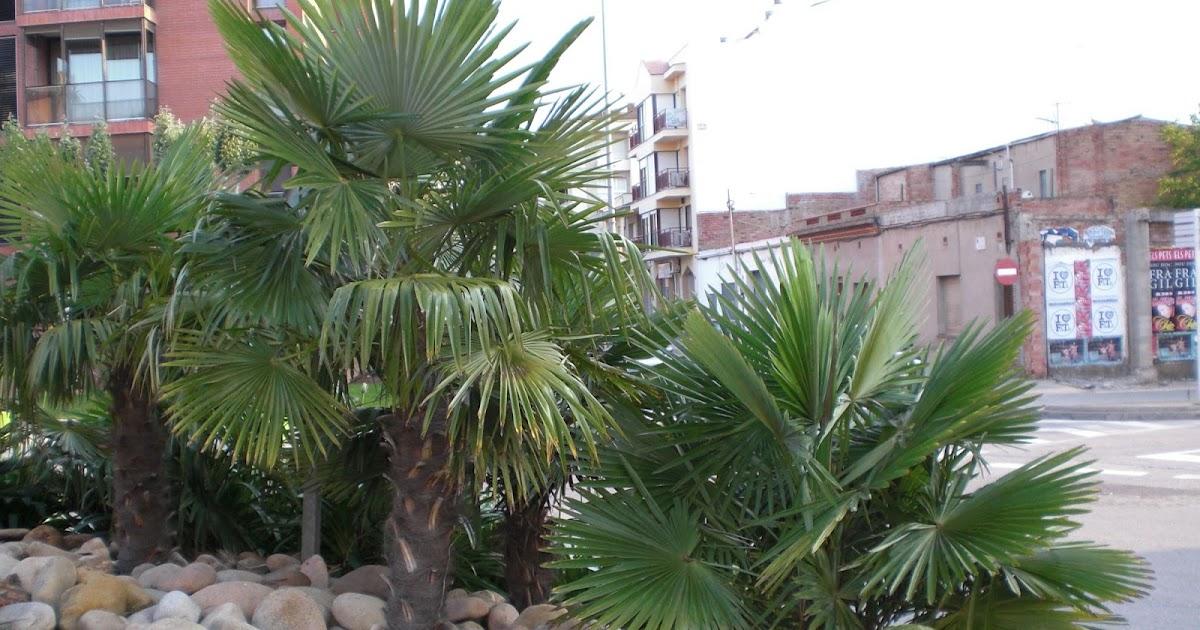Arte y jardiner a dise o de jardines trachycarpus fortunei for Diseno de jardines 3d 7 0 keygen