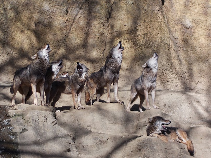 Mama Wolf Howling For The Kids