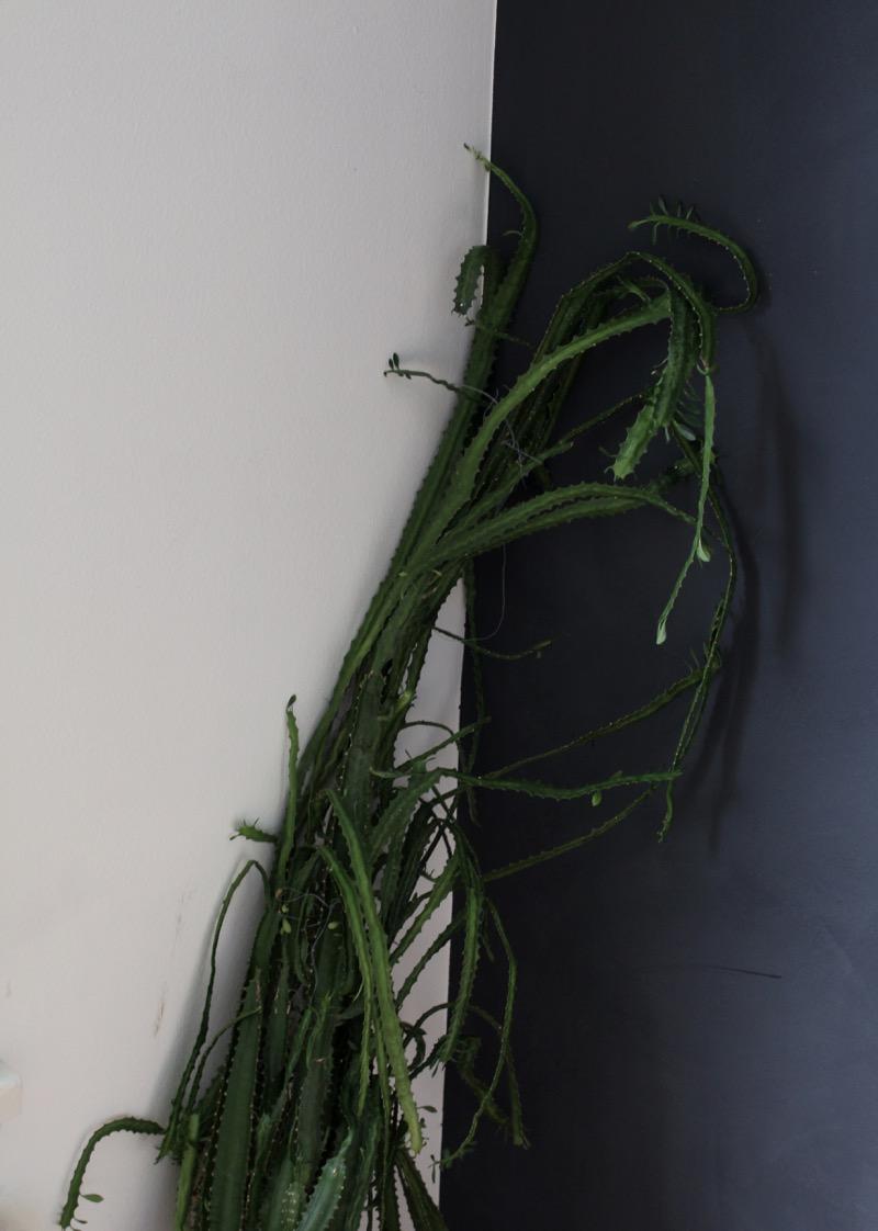 vanha kaktus