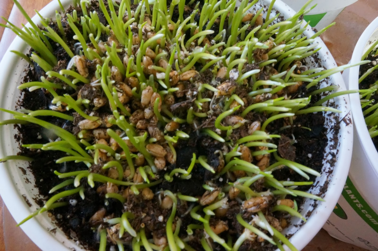 Close up of wheat grass in pot