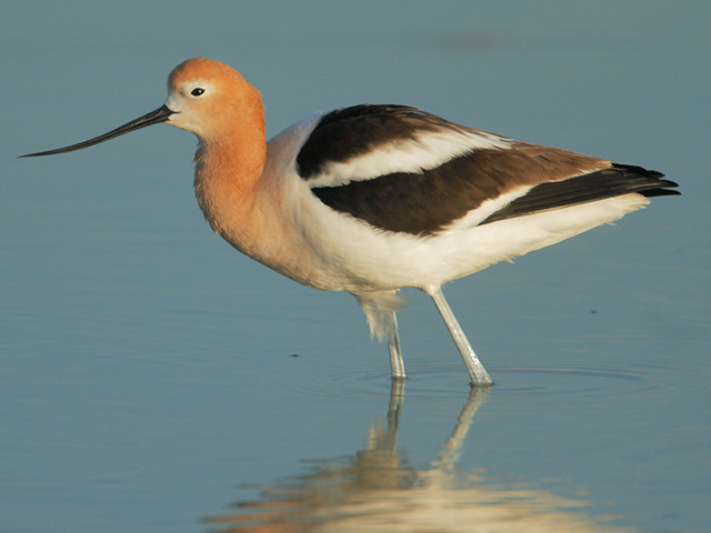 Animal Names : Avocet Bird ; In A Large Colony Avocets Are Aggressively  Defensive And Chase Off Any Other Species Of Birds That Try To Nest Among  Or Near ...