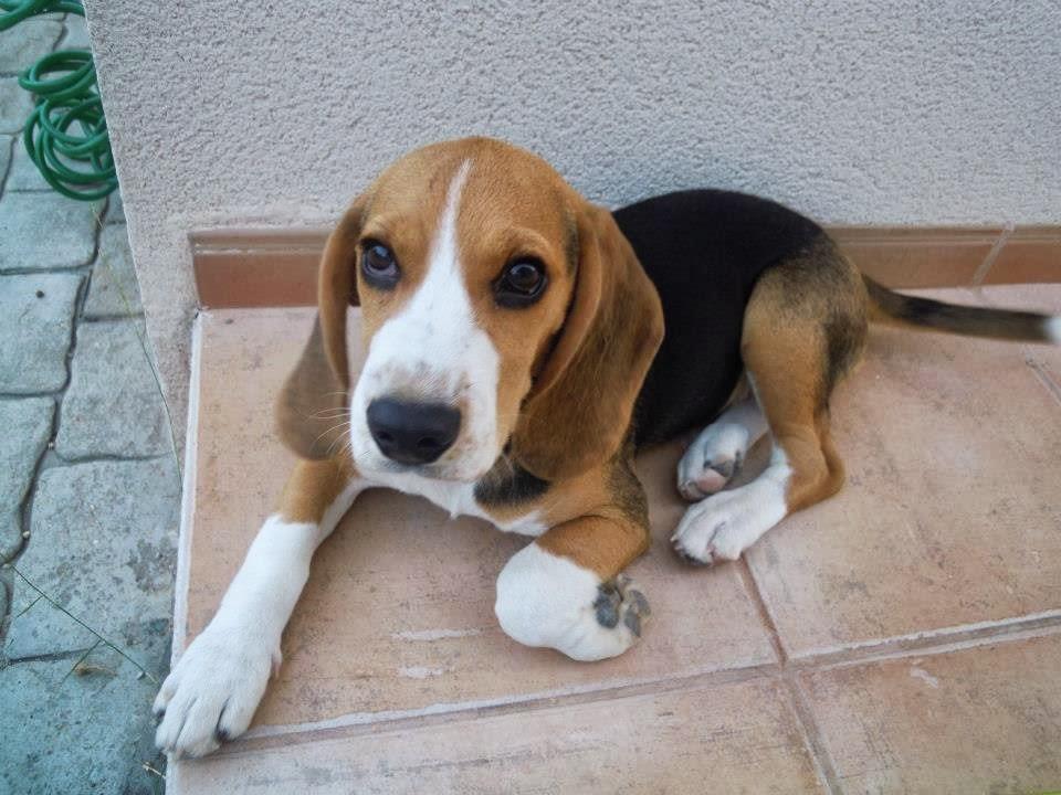 beagle macho para monta