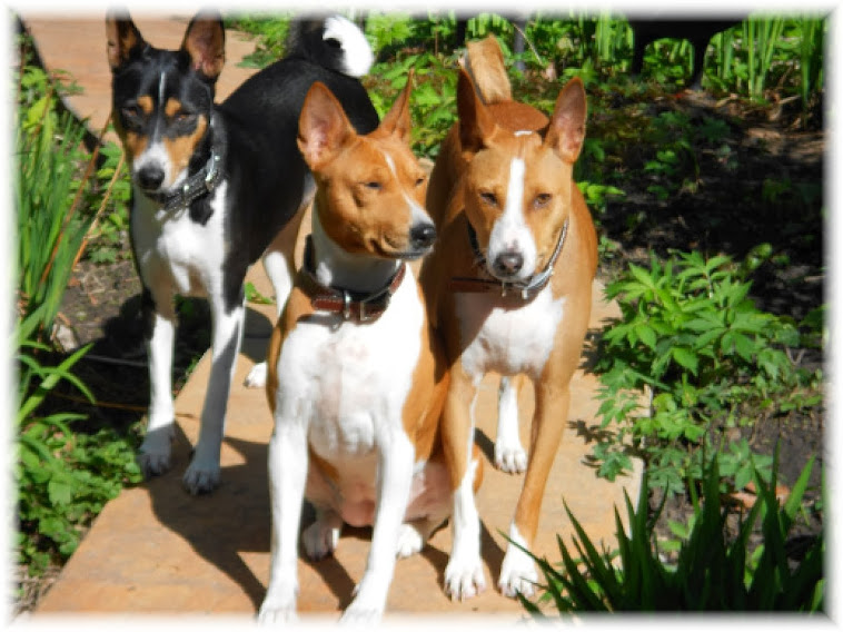 BASENJI SHOTS:  BEST ON THE WEB!  FREE DOWNLOADS!