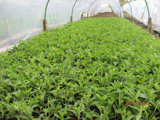 breading of stevia plant