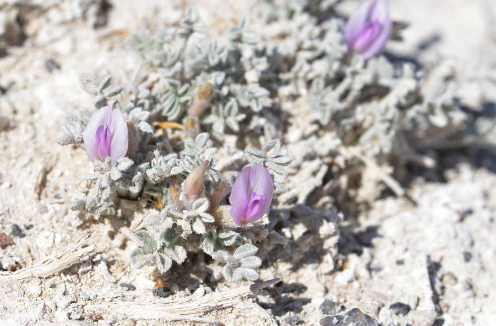 Astragalus phoenix_5764