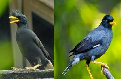 Foto Burung Jalak Kebo Jantan