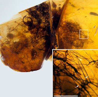 Hallucinochrysa fossil