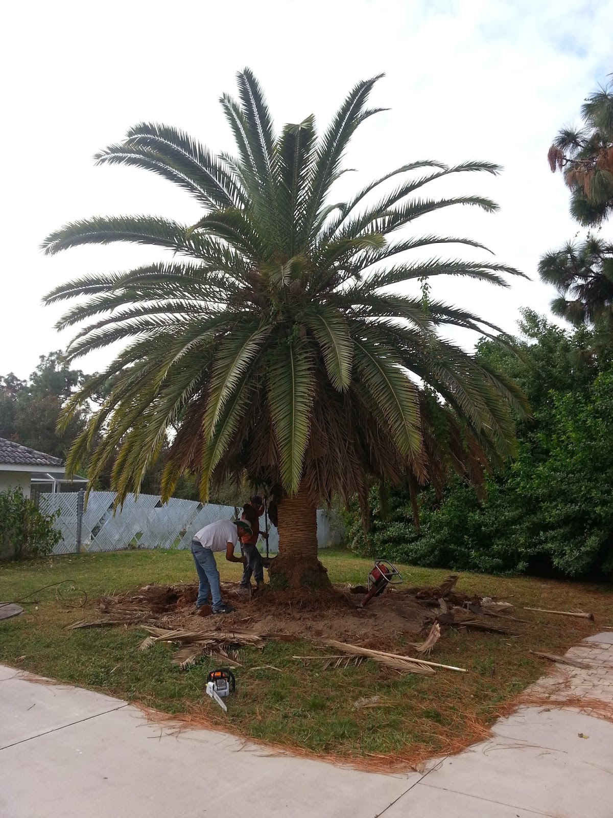 No Worries Property Maintenance – Canary Island Date Palm