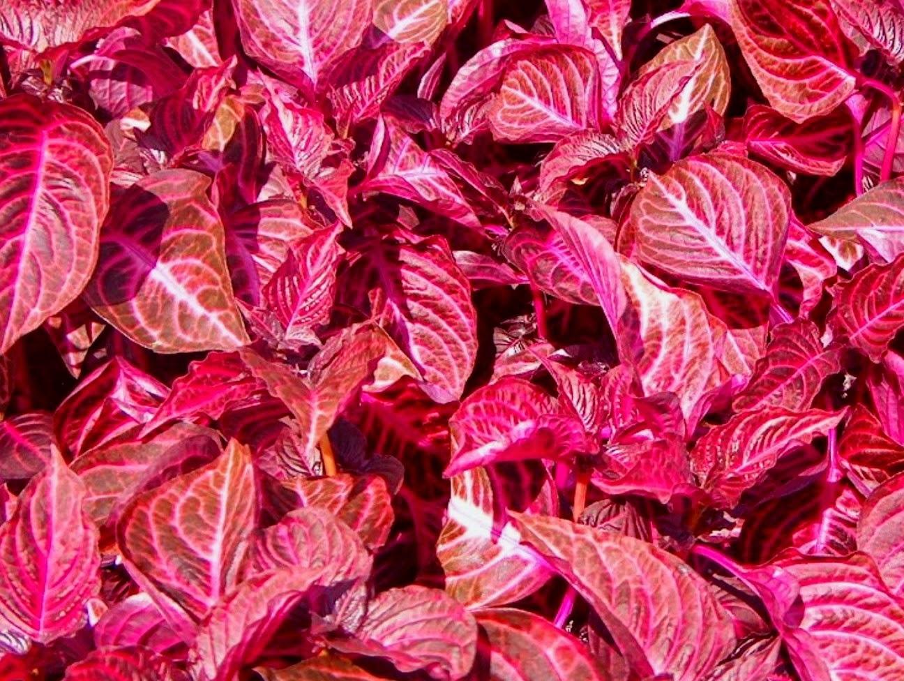 Por qu hay plantas con hojas que no son verdes for Hojas ornamentales con sus nombres