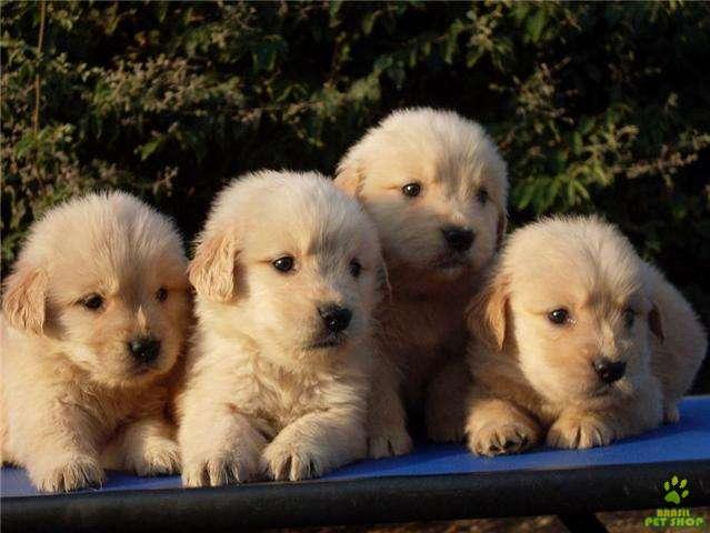Filhote de Golden Retriever - Filhote Bulldog Pastor Alemão Preço