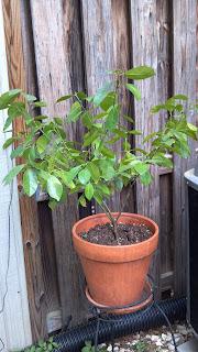 adolescent orange tree raised in the north