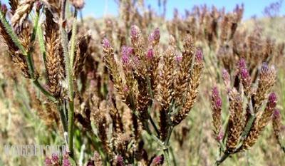 lokasi bunga lavender di gunung semeru