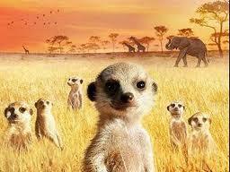 Meerkats:  We're Always Watching You!