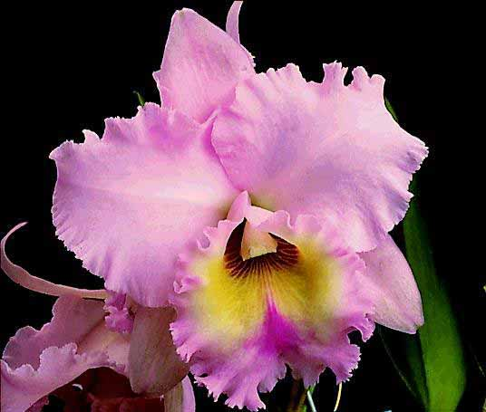 Fotos de flores y rosas para fondo de pantalla del celular y  - Imagenes De Flores De Orquideas