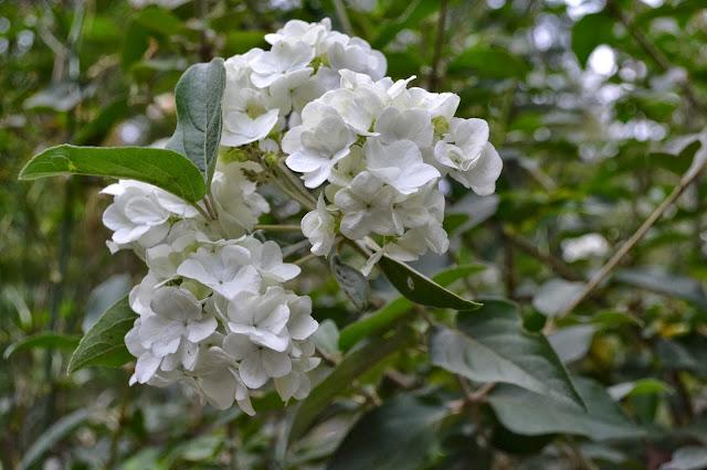 viburnum, http://growingdays.blogspot.com