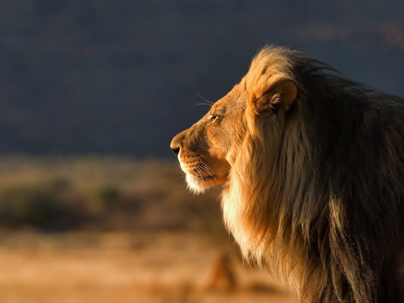 Wonderful   Wallpaper Horse Lion - Male+Lion+Wallpapers+13  Photograph_429177.jpg