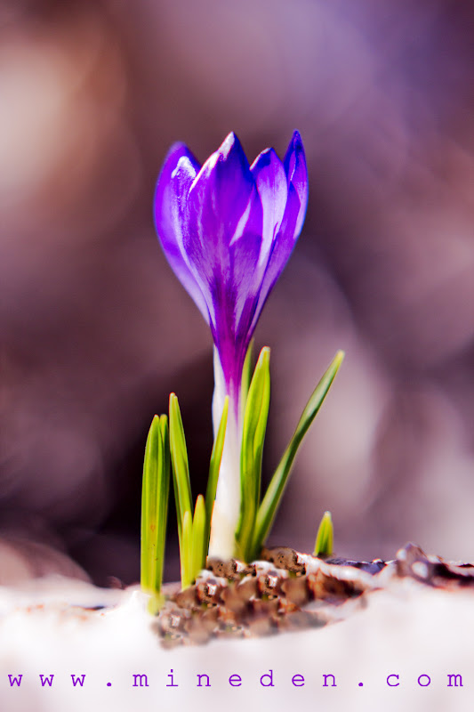Crush on a crocus