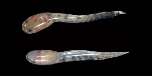 Kecebong Limnonectes Larvaepartus