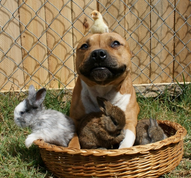 Boom the pit bull hanging out with chick and bunnies, funny pit bull pictures, animal friendships, cute bunny pictures, cute dog pictures