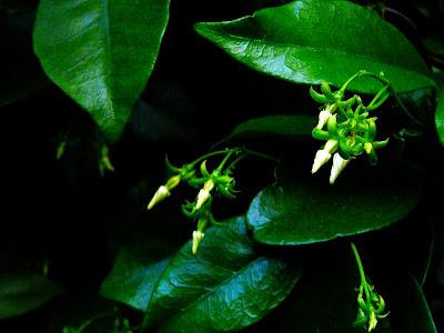 Jasmine Flowers Picture