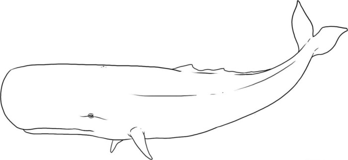 Sperm Whale Physeter macrocephalus Line Art and