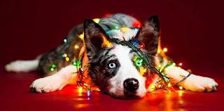Αξιολάτρευτα σκυλιά ποζάρουν… χριστουγεννιάτικα!