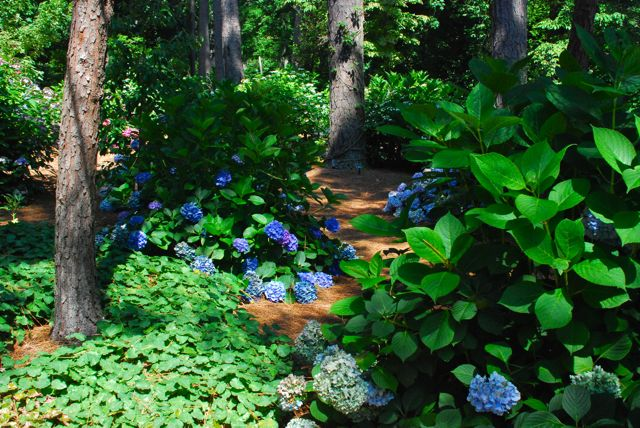 The Kaufman Hydrangea Garden: Our visiting day was quite hot with the sun glaring down on us. But it was worth visiting in July to see their hydrangea collection in bloom! It was much cooler also once we reached its woodland setting.