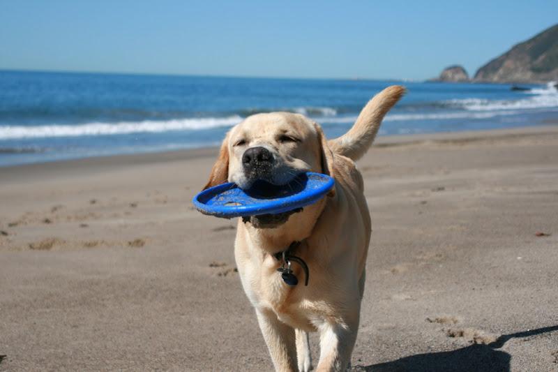 Frisbee Labrador Cooper