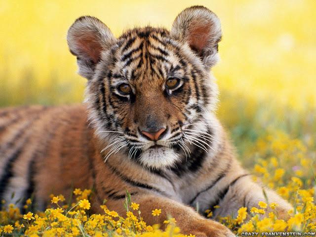 baby tiger animal wallpapers