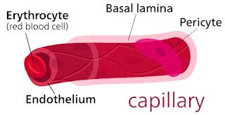 Cross section of a capillary.