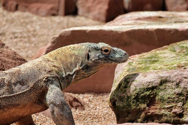 Dragón de Komodo, se llama Reo