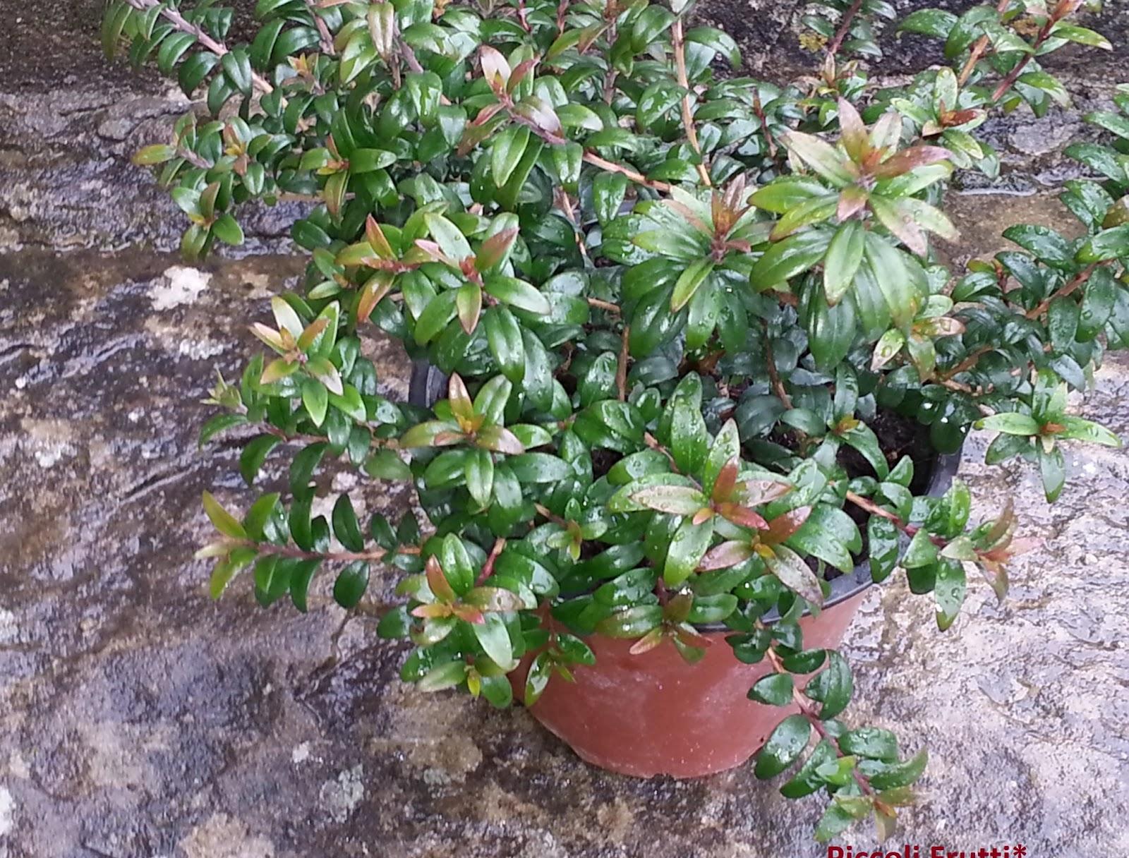 Piccoli frutti piante aromatiche coltivare il mirto in for Pianta mirto