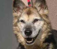 Snooki, a senior GSD-mix, with a huge heart