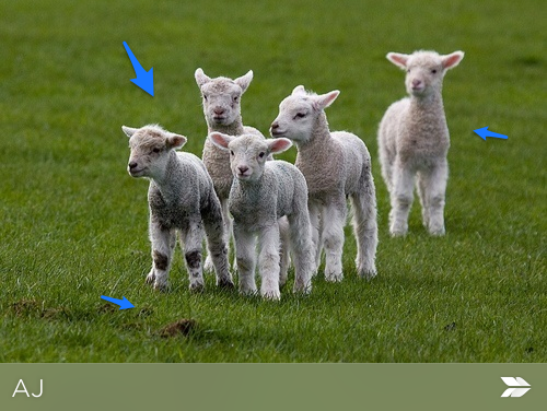 marked up image of lambs in a paddock