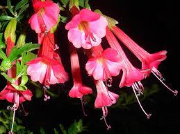 Soy la Flor Nacional del Perú