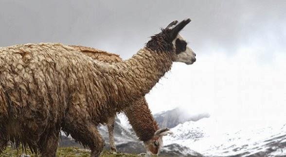 Una llama en el altiplano boliviano. | Foto archivo - Daniel James Los Tiempos