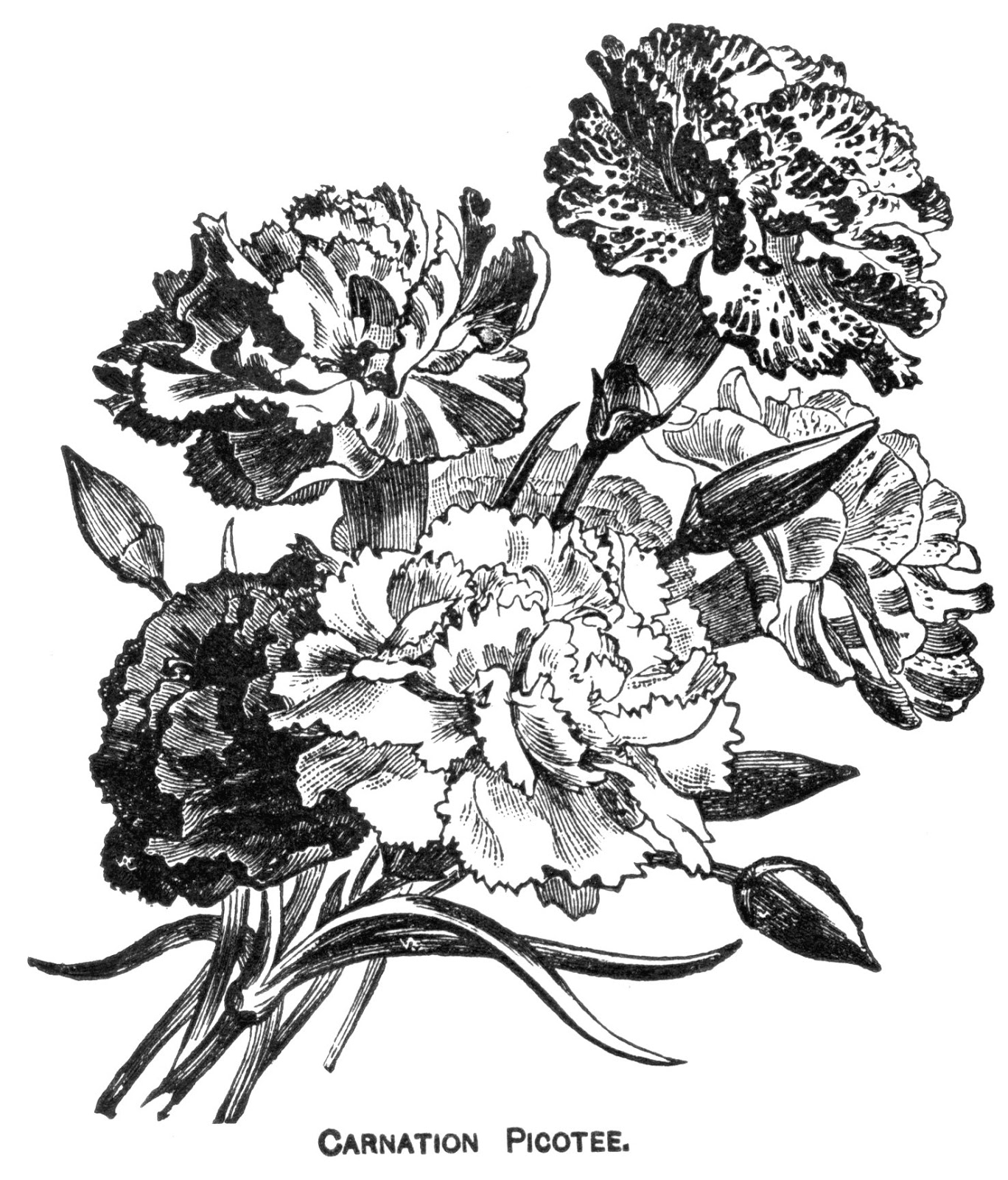 Carnation Flower Line Drawing : Digital two for tuesday carnations