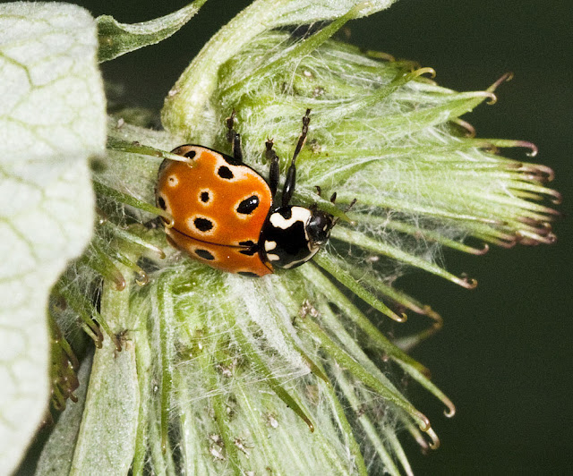 Eyed ladybird, Anatis ocellata, on greater burdock near conifers at High Elms Country Park, 31 May 2011.