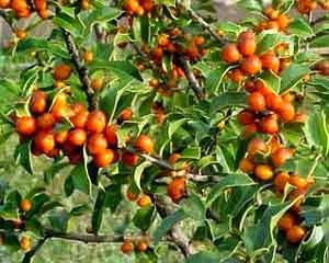Árvore da espinheira santa