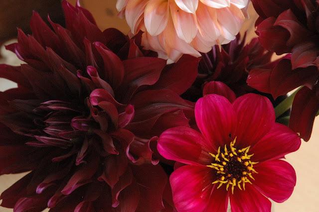 Cactus dahlia 'Rip City', border dahlia 'Roxy' and decorative dahlia 'Peaches'