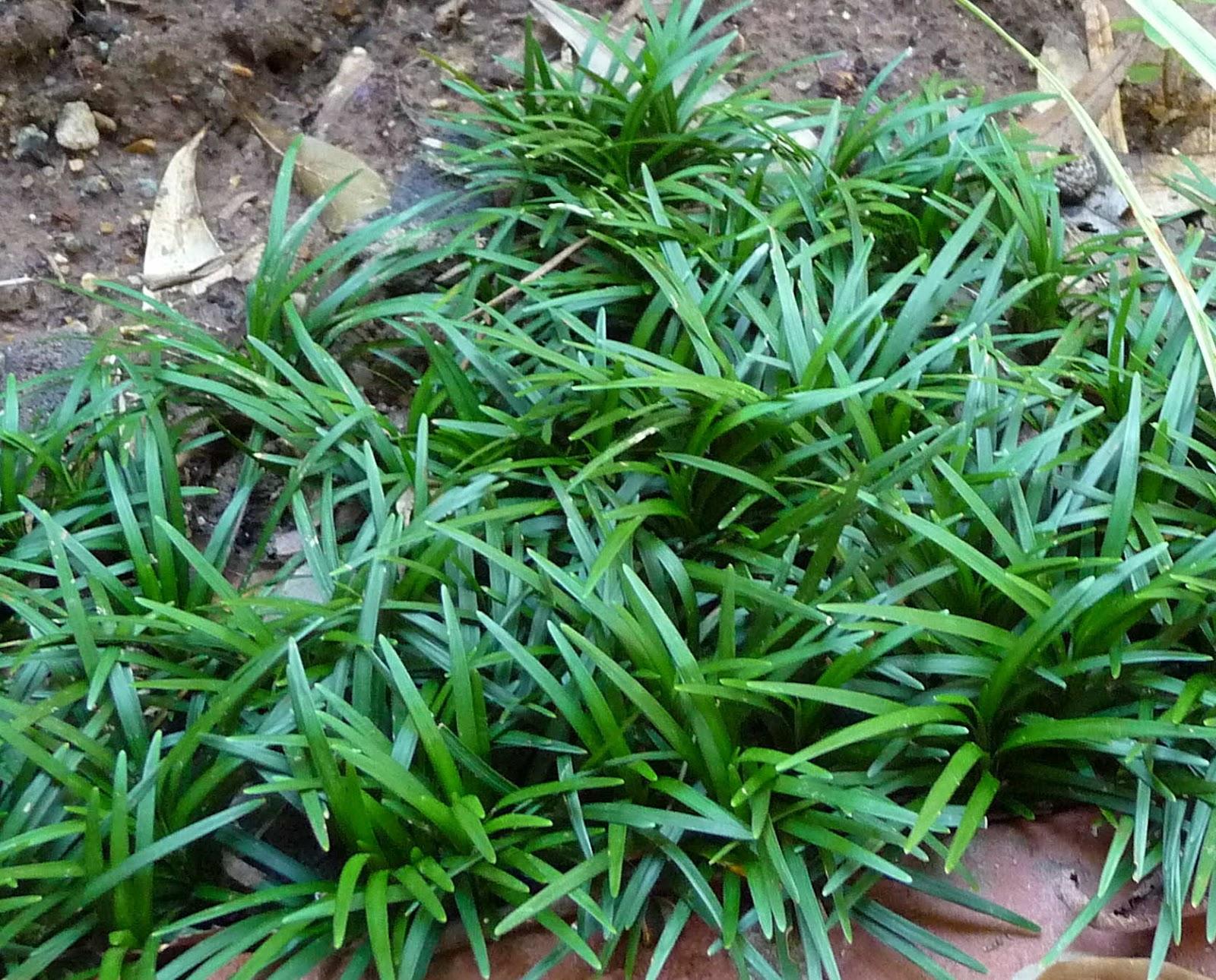 Plantwerkz mondo grass ophiopogon japonicus 39 kyoto dwarf 39 for Plants and grass